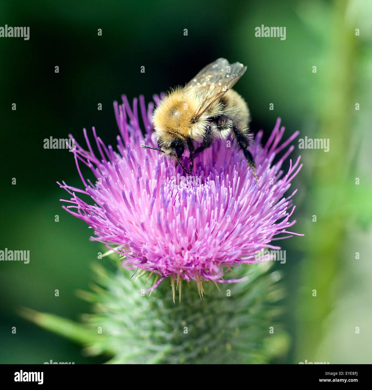 Kratzdistel; Ackerhummel; Bombus pascuorum; Hummel; - Stock Image