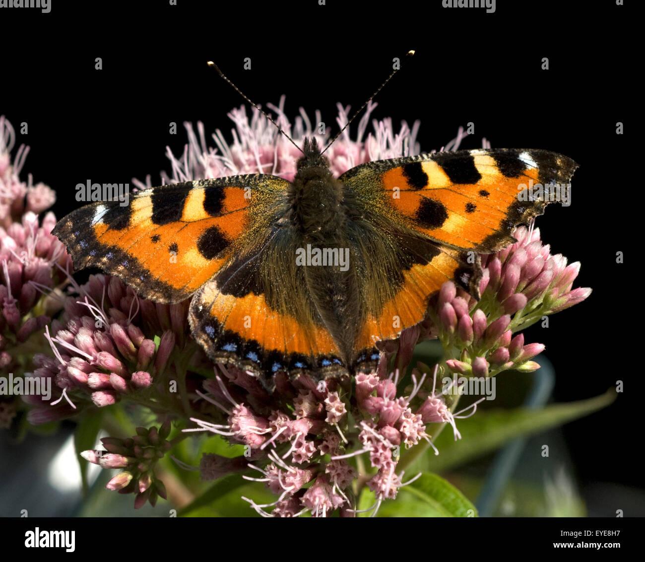 Kleiner Fuchs, Aglais urticae, Wasserdost, Stock Photo