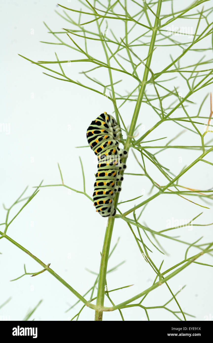 Raupe, Schwalbenschwanz, Papilio machaon Stock Photo