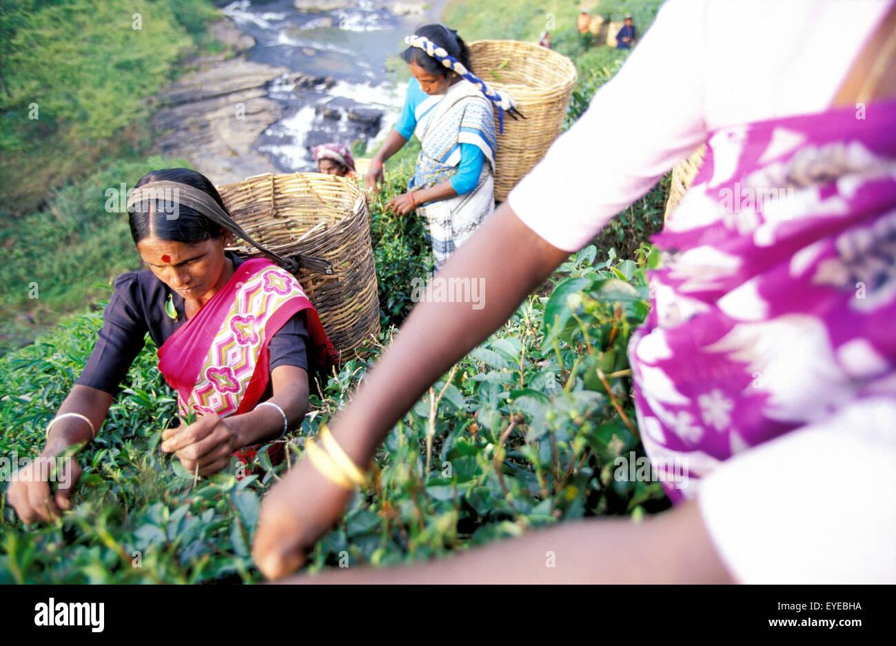 Woman Picking Tea Above Waterfall, Talawakele, Sri Lanka Stock Photo