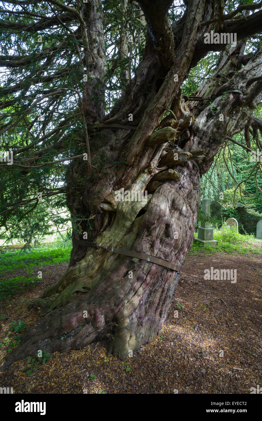Ancient common yew tree (Taxus baccata), in the churchyard of St Cuthbert's, Beltingham, Northumberland, UK Stock Photo
