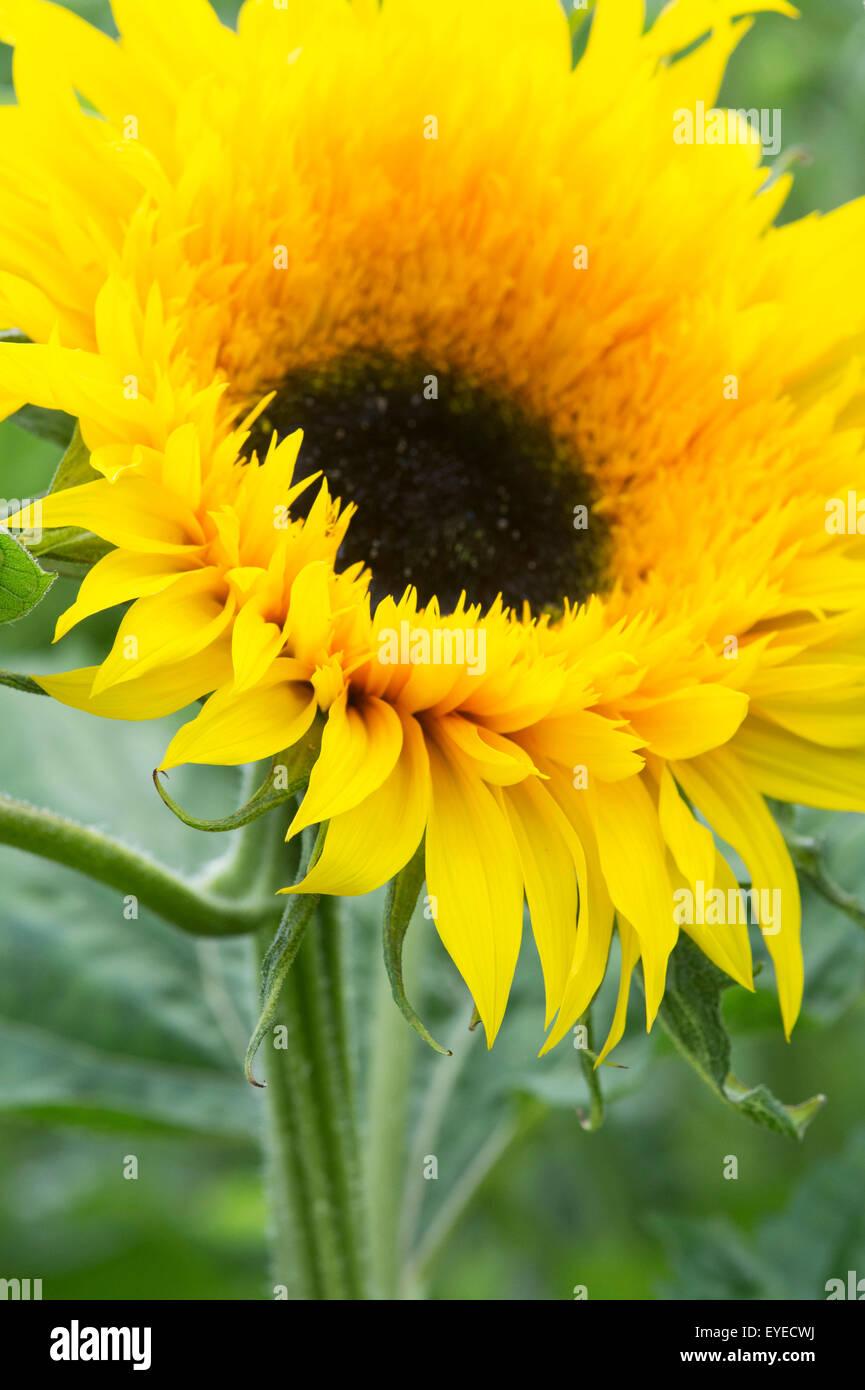 Helianthus annuus. Sunflower 'Starburst Panache' - Stock Image
