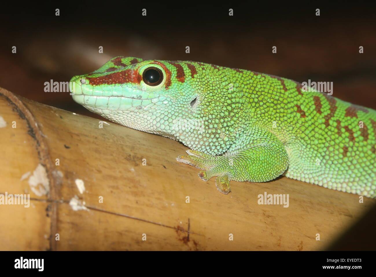 Green Madagascar Day Gecko (Phelsuma madagascariensis) Stock Photo