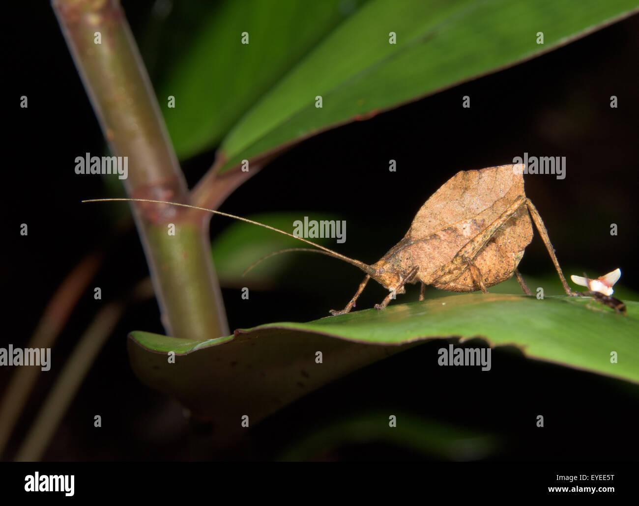 Leaf-mimic katydid (Typophyllum laciniosum) - Stock Image