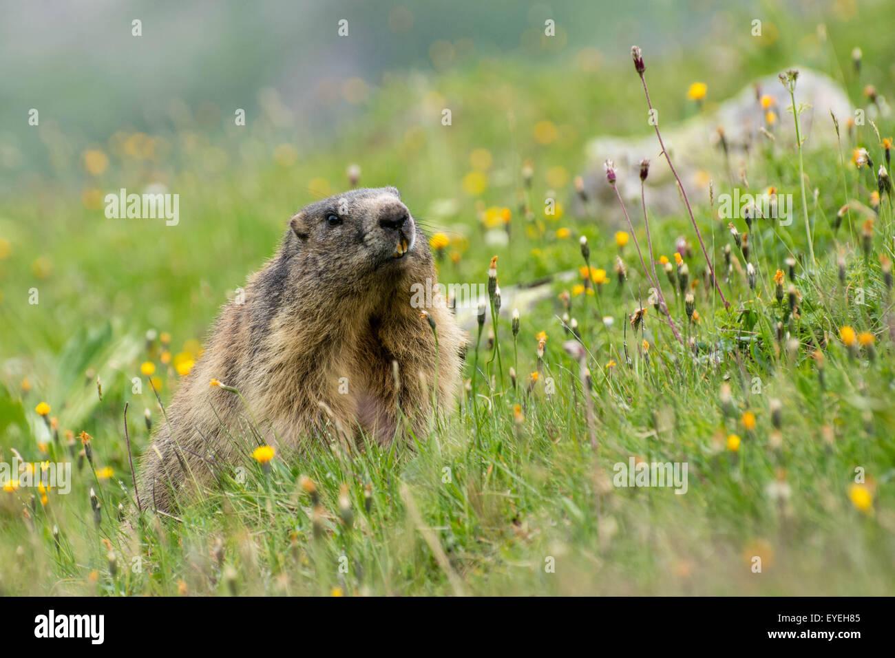 An Alpine Marmot (Marmota marmota) in a field of alpine flowers in the Austrian Alps. - Stock Image