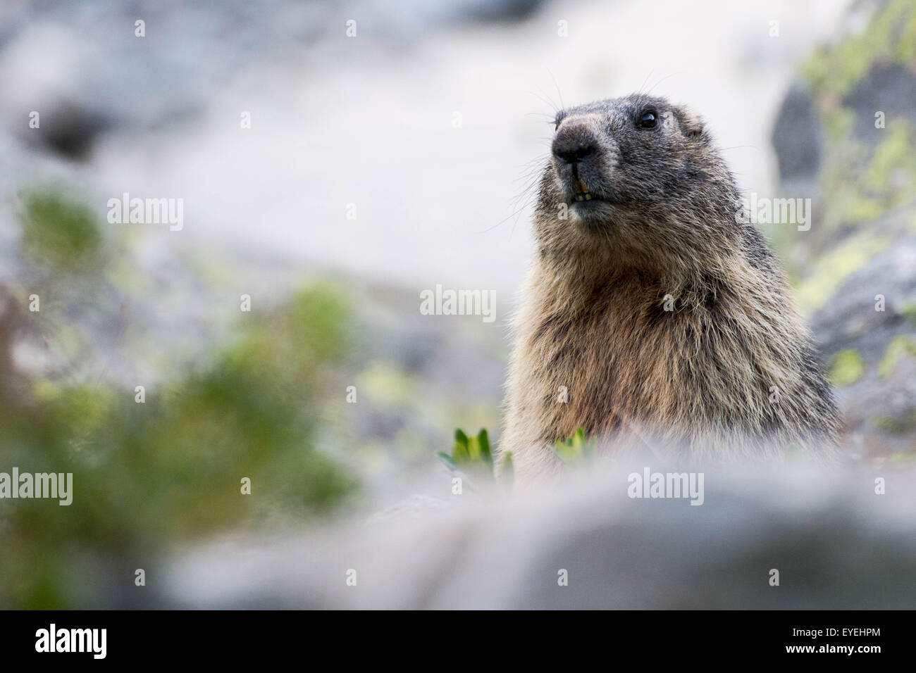 An alpine marmot (Marmota marmota) surveys its surroundings from a high point in the Austrian Alps. - Stock Image