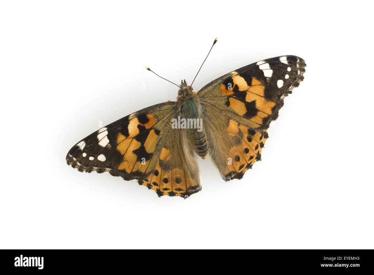 Distelfalter, Cynthia, cardui, Insekt, - Stock Image