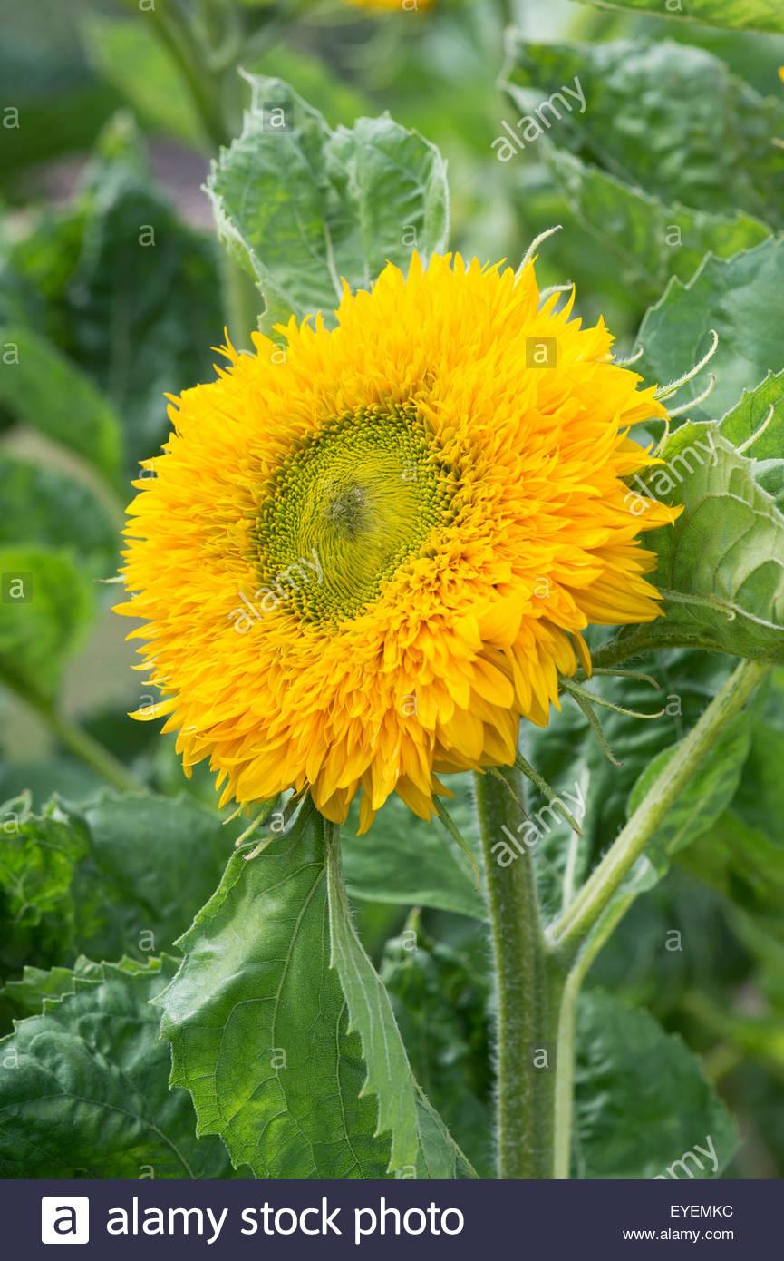 Helianthus annuus. Sunflower 'Superted' - Stock Image