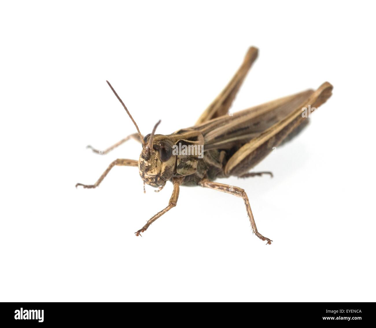 Feldheuschrecke, Acrididae Stock Photo