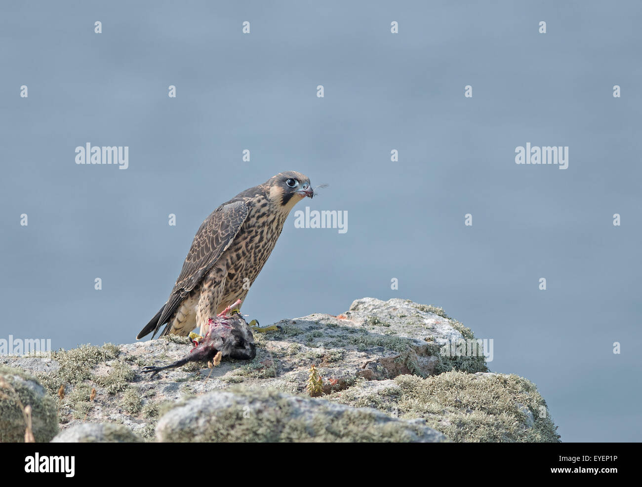 A juvenile Peregrine falcon with prey on the cliffs in Cornwall. - Stock Image