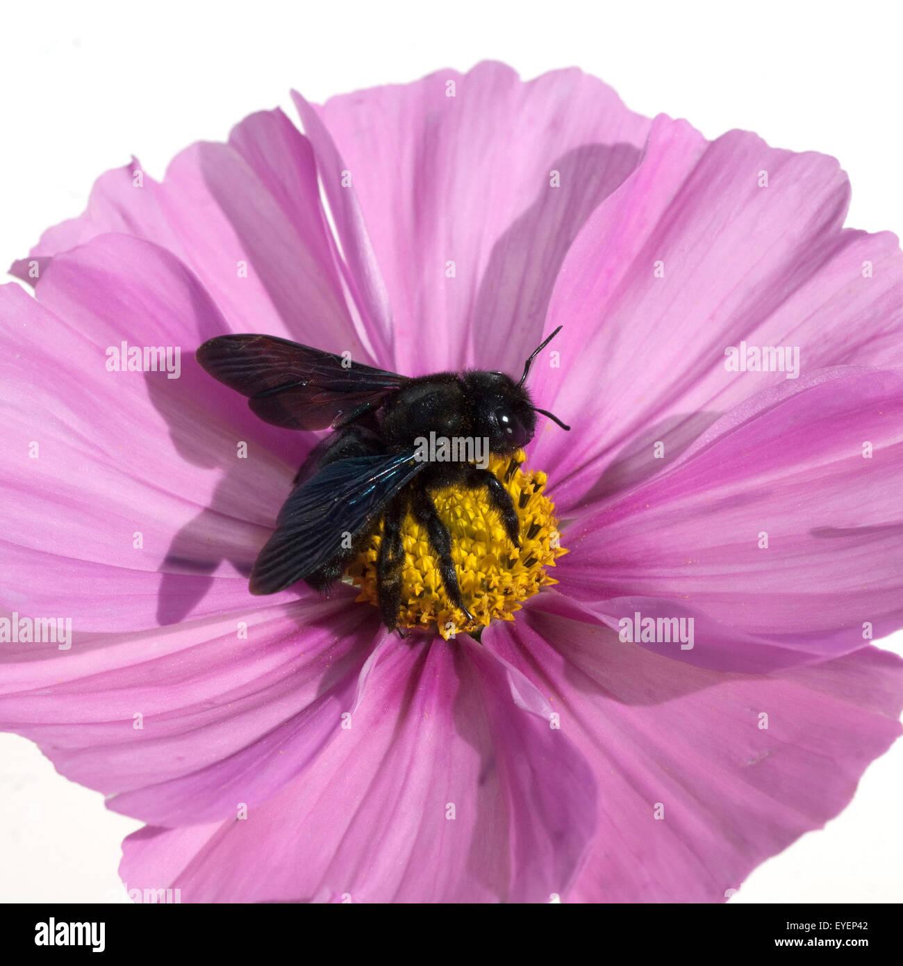 Holzbiene, Xylocopa, violacea, Grosse, Blaue, Violette, Wildbienen, - Stock Image