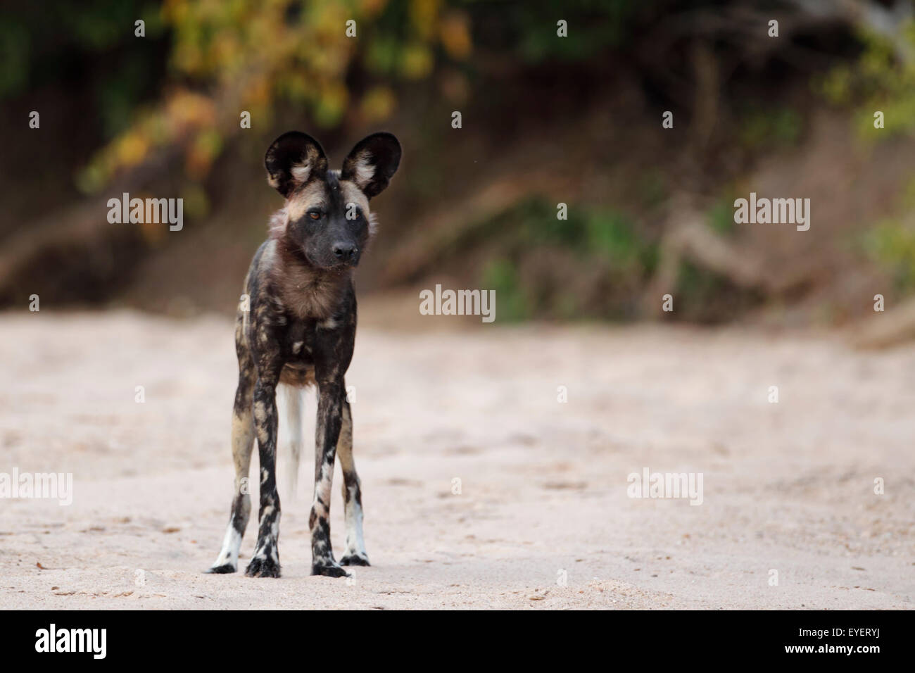 Wild dog, Mana Pools National Park, Zimbabwe, Simbabwe, standing alert in a sandy river-bed. - Stock Image
