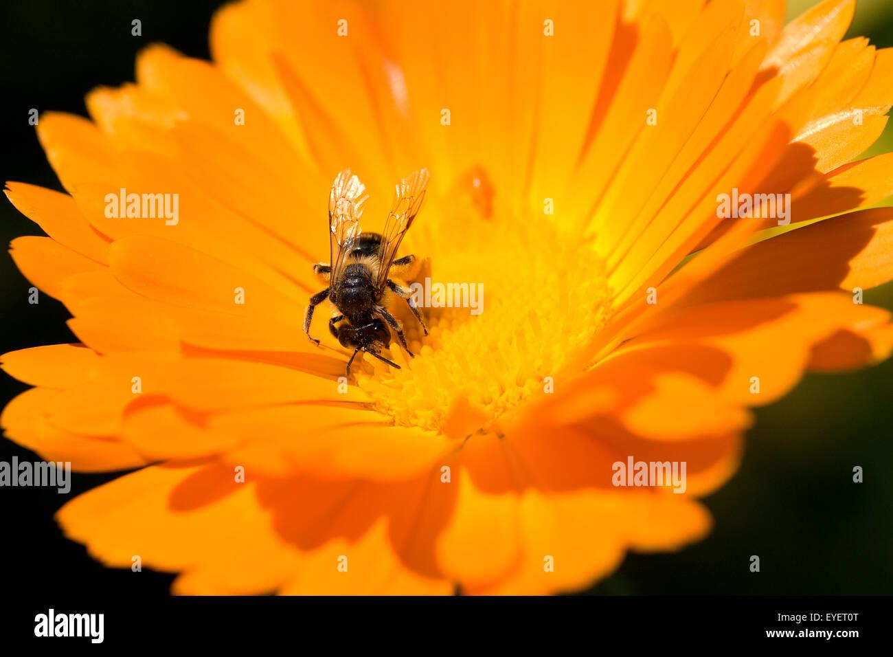 Ringelblume; Calendula Officinalis; Wildbiene - Stock Image