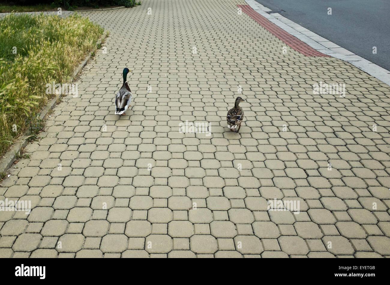 couple of Mallard ducks walking on the sidewalk - Stock Image