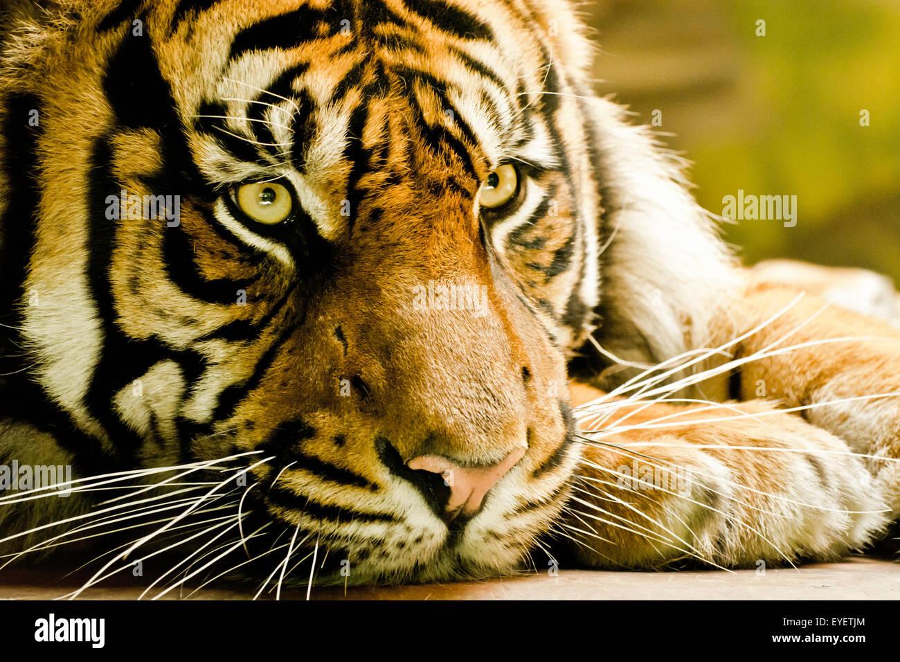 Sumatran tiger portrait in captivity - Stock Image