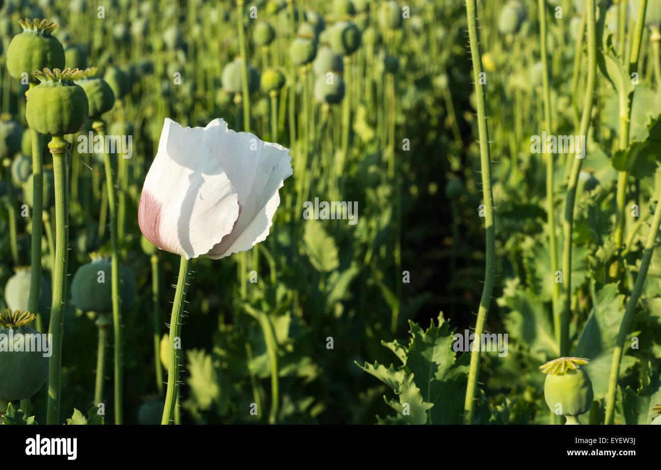 Fresh green poppy heads on field in Poland Stock Photo