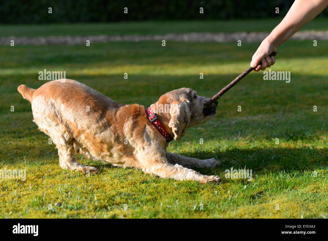 Golden cocker spaniel dog tugging on a stick with its owner. - Stock Image