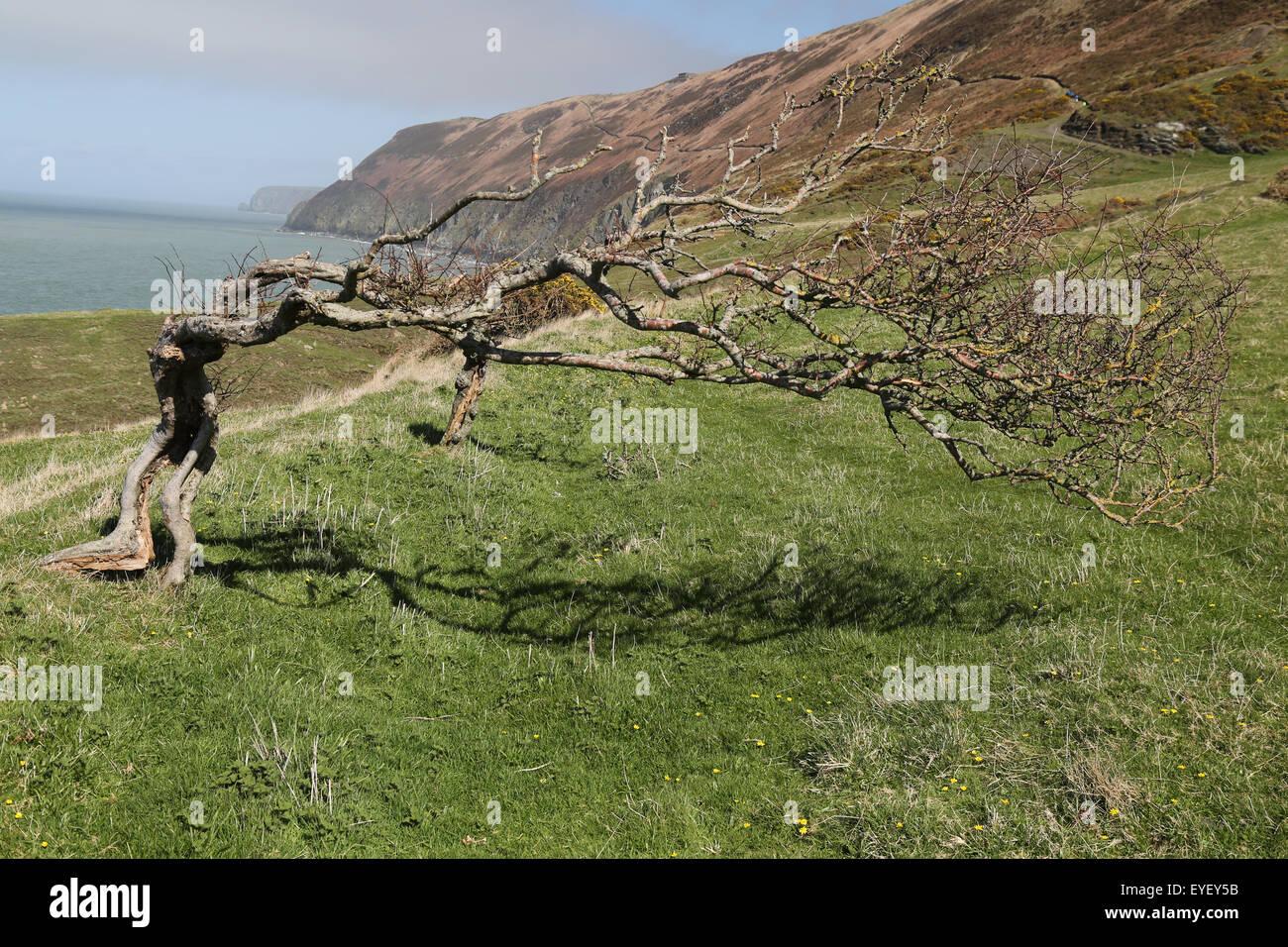 Cardigan Bay, Wales, Coast Path Tree - Stock Image