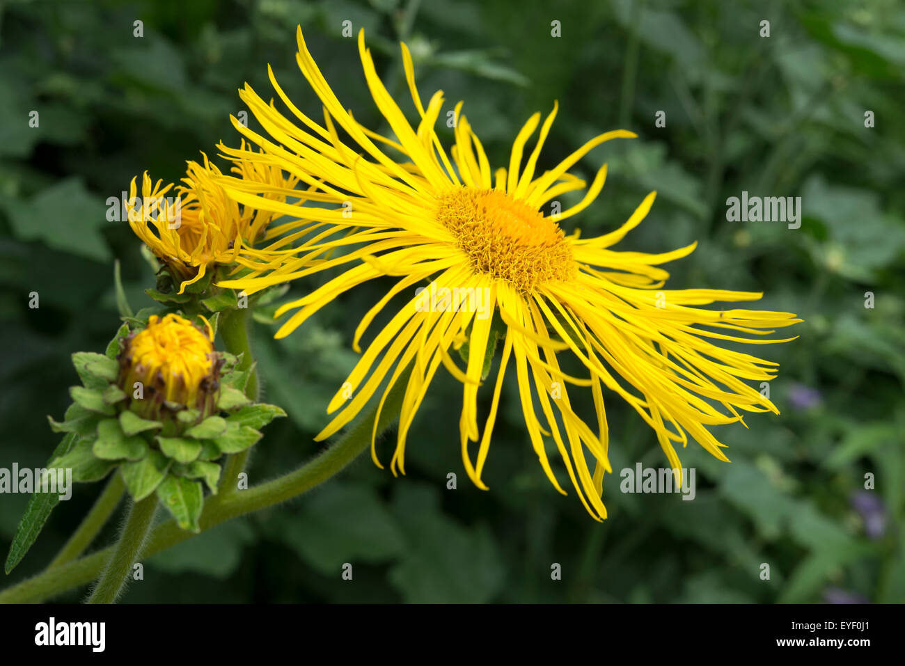 Inula Magnifica With A Huge Yellow Flower And Buds Yet To Open A