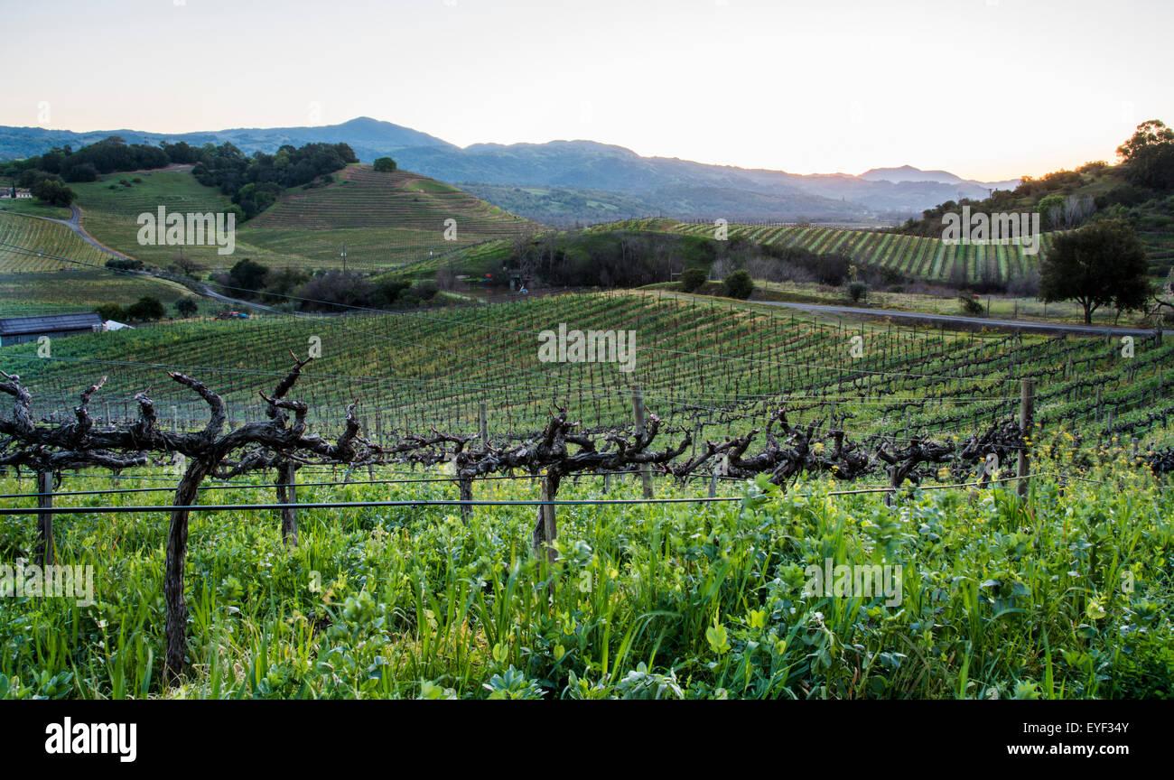 Hillside vineyards in California at sunrise - Stock Image