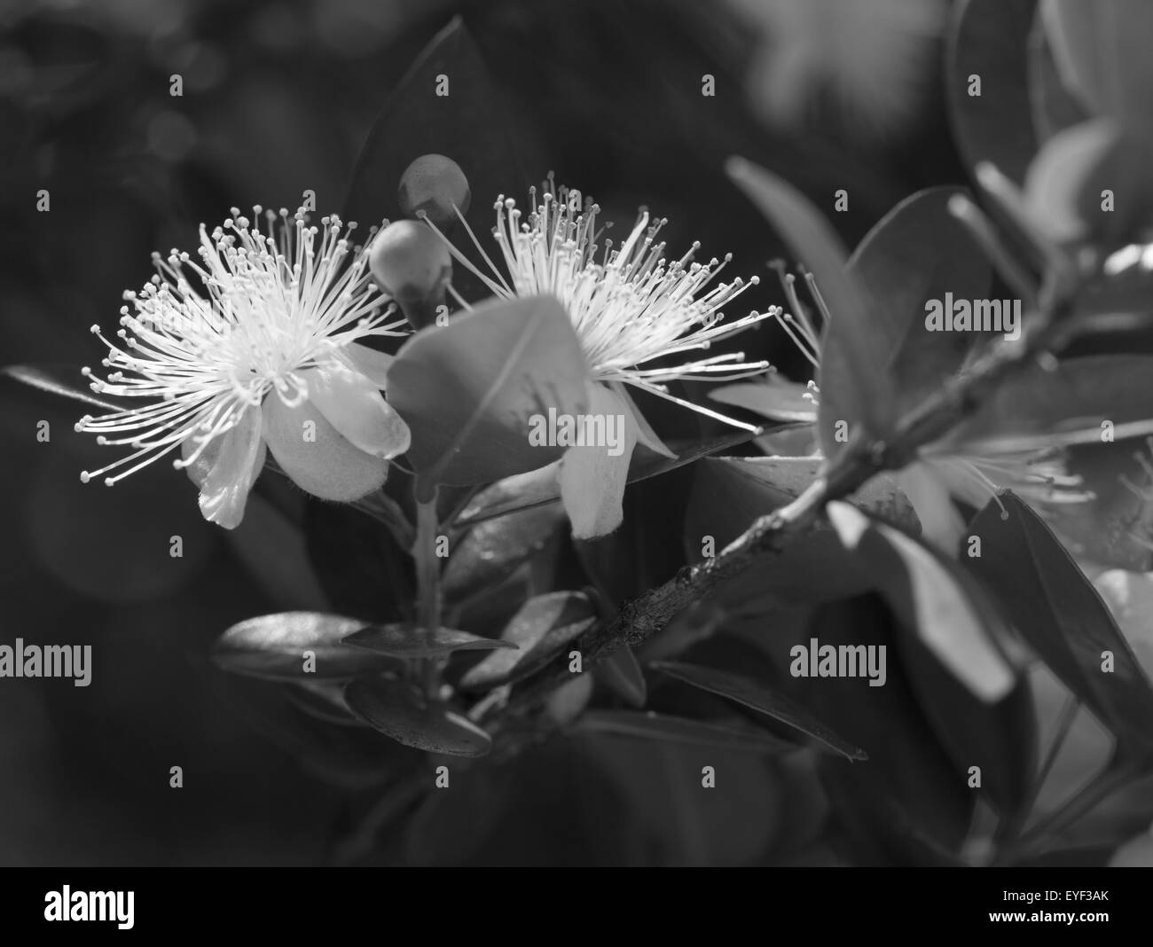 Branch with flower and pistil in Royal Botanic Garden of Madrid, Spain, Europe - Stock Image