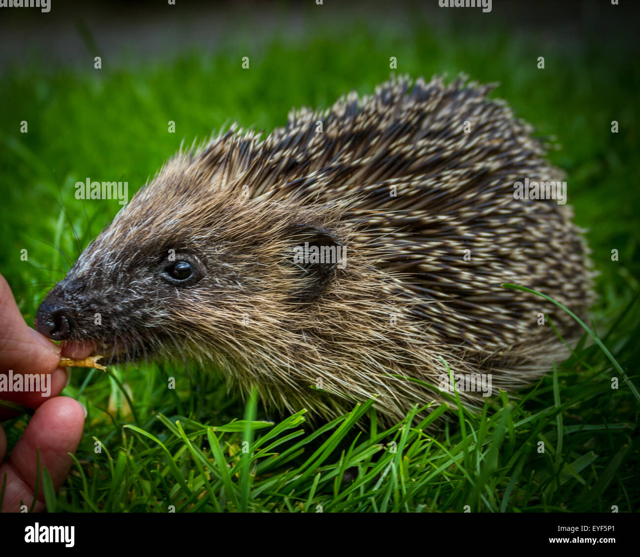 Young hedgehog (Erinaceus europaeus) being hand fed dried mealworms in the daytime. Taste before you try! - Stock Image