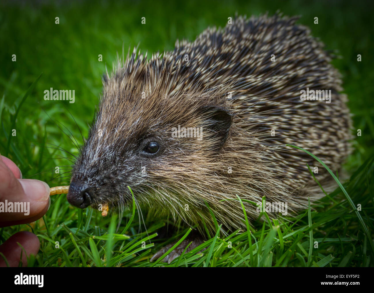 Young hedgehog (Erinaceus europaeus) being hand fed dried mealworms in the daytime - Stock Image
