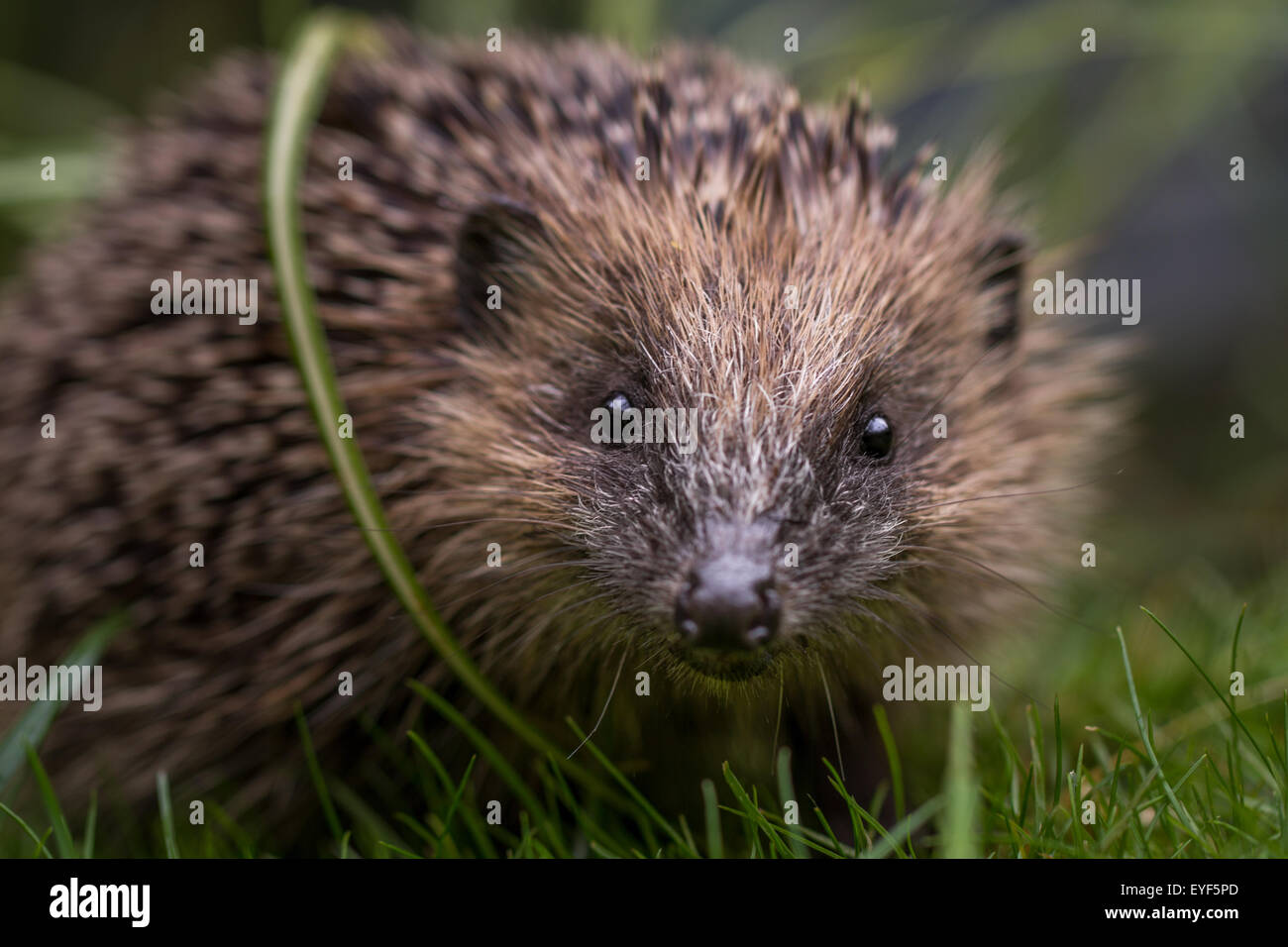 Young hedgehog (Erinaceus europaeus) looking at camera - Stock Image