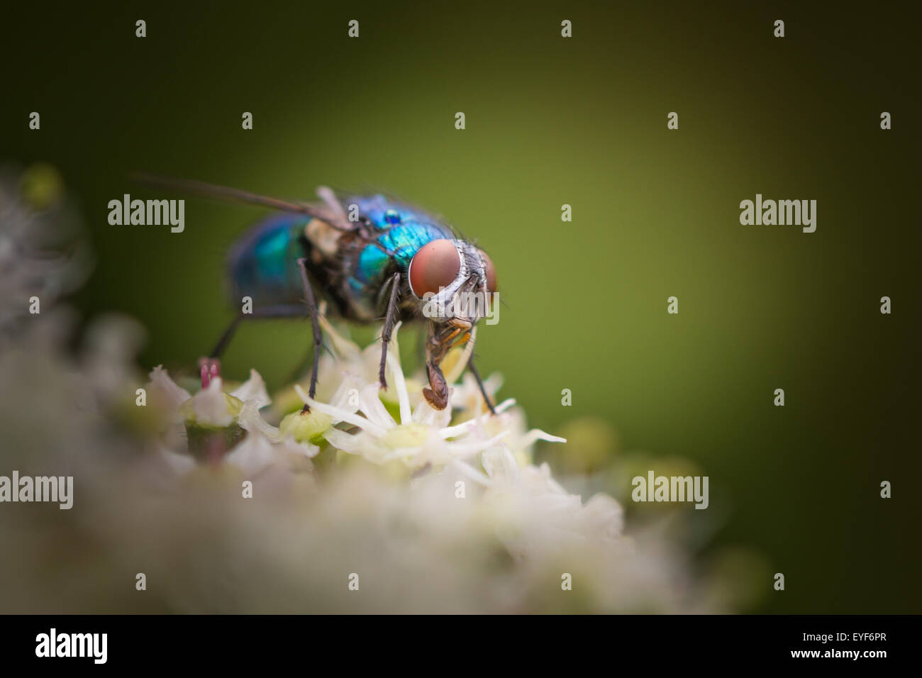 Greenbottle fly showing off its iridescent colours and proboscis - Stock Image