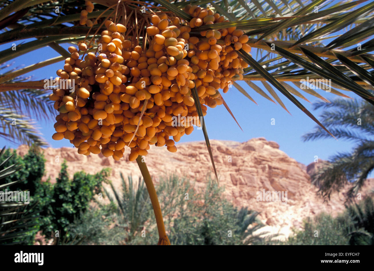 Egypt, Near Nuweiba; Sinai, Dates Growing At Ain Khudra - Stock Image