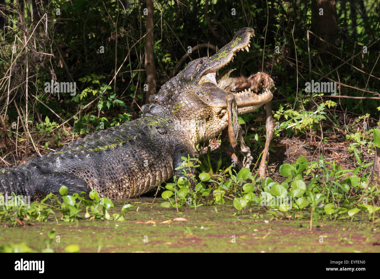 American alligator (Alligator mississippiensis) eating a deer, Brazos Bend state park, Needville, Texas, USA. - Stock Image