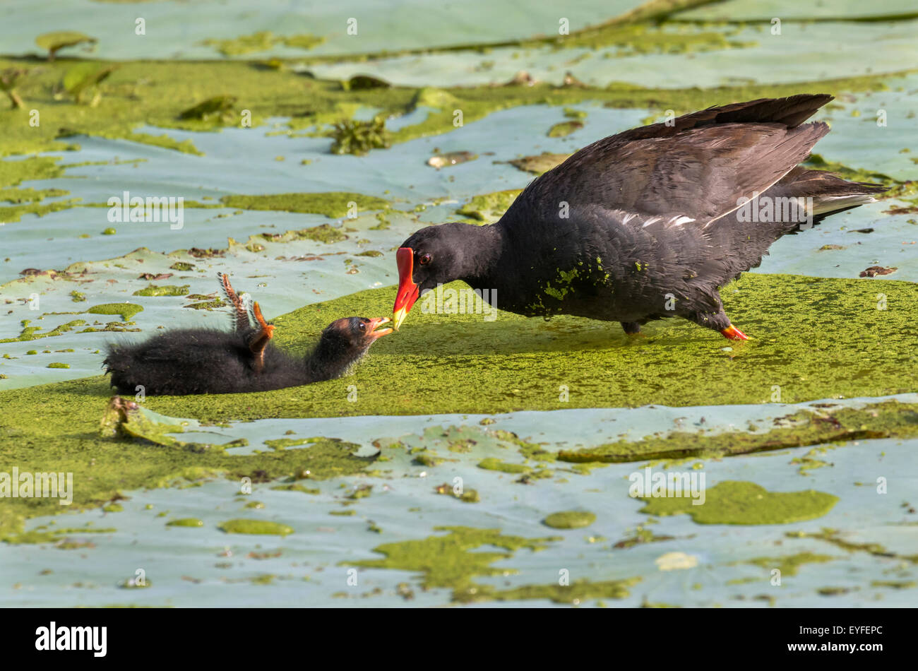 Common Gallinule (Gallinula galeata) feeding a chick, Brazos Bend state park, Needville, Texas, USA. - Stock Image