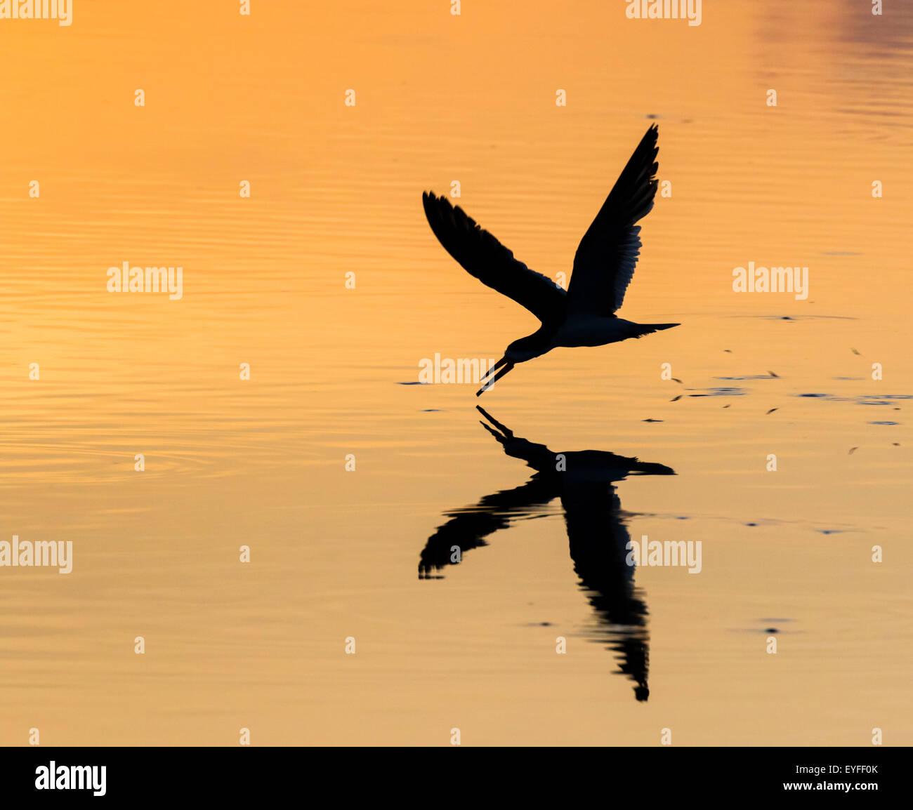 Black skimmer (Rynchops niger) hunting at sunrise in seashore, Galveston, Texas, USA. - Stock Image