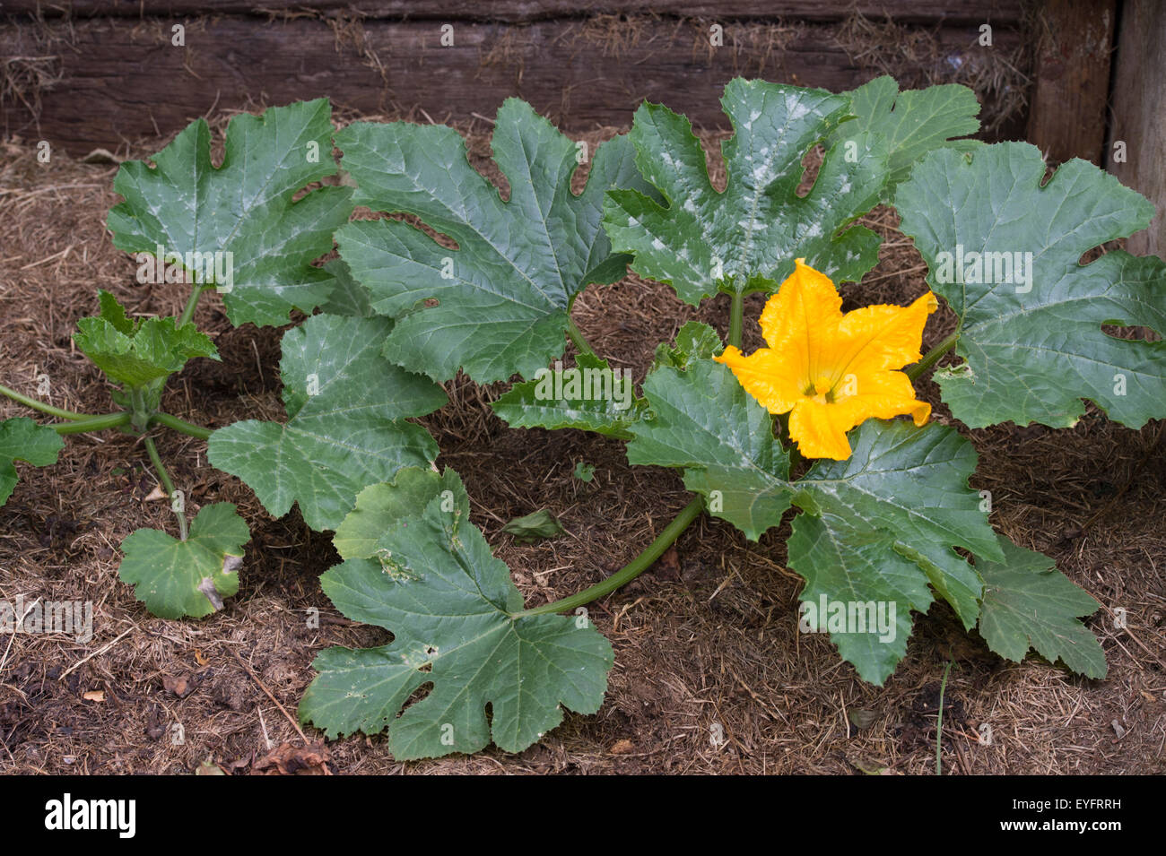 Cucurbita pepo. Courgette plant in flower growing in a compost heap - Stock Image