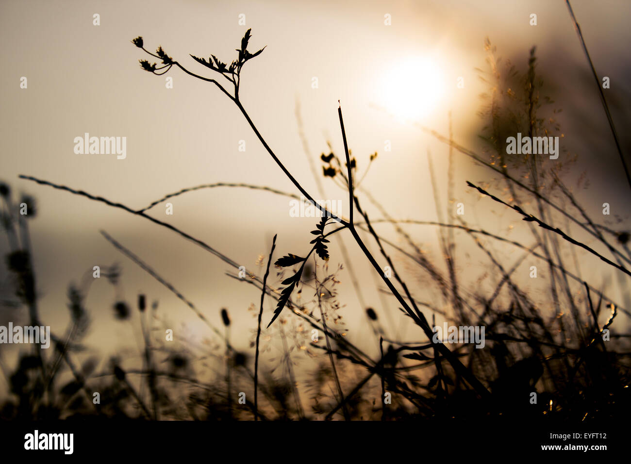 Grass silhouettes in a sunset light Stock Photo