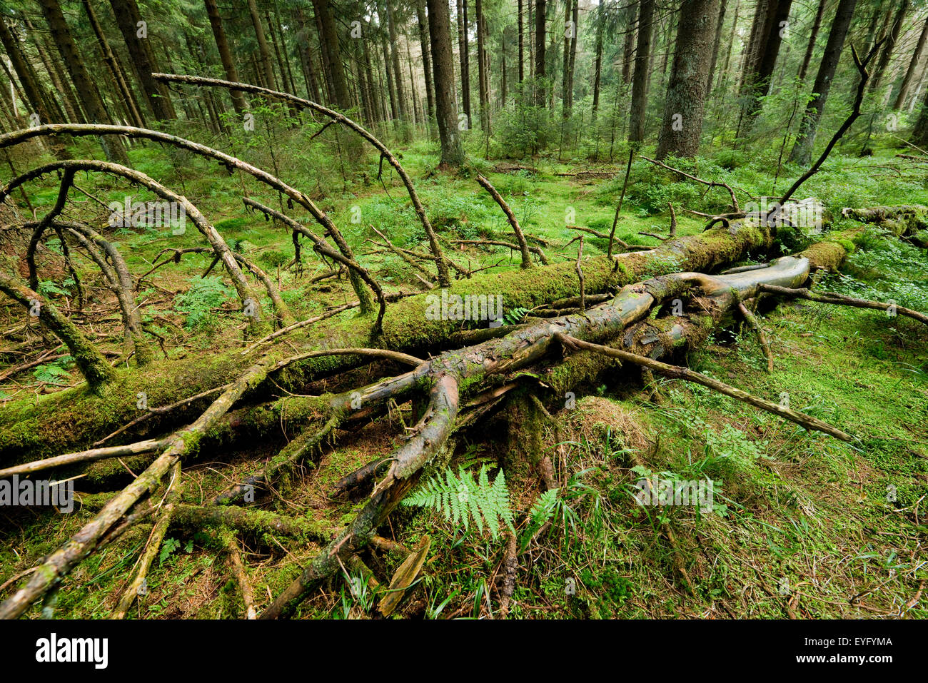 Deadwood in primeval spruce forest, Norway Spruce (Picea abies), Harz National Park, Lower Saxony, Germany - Stock Image