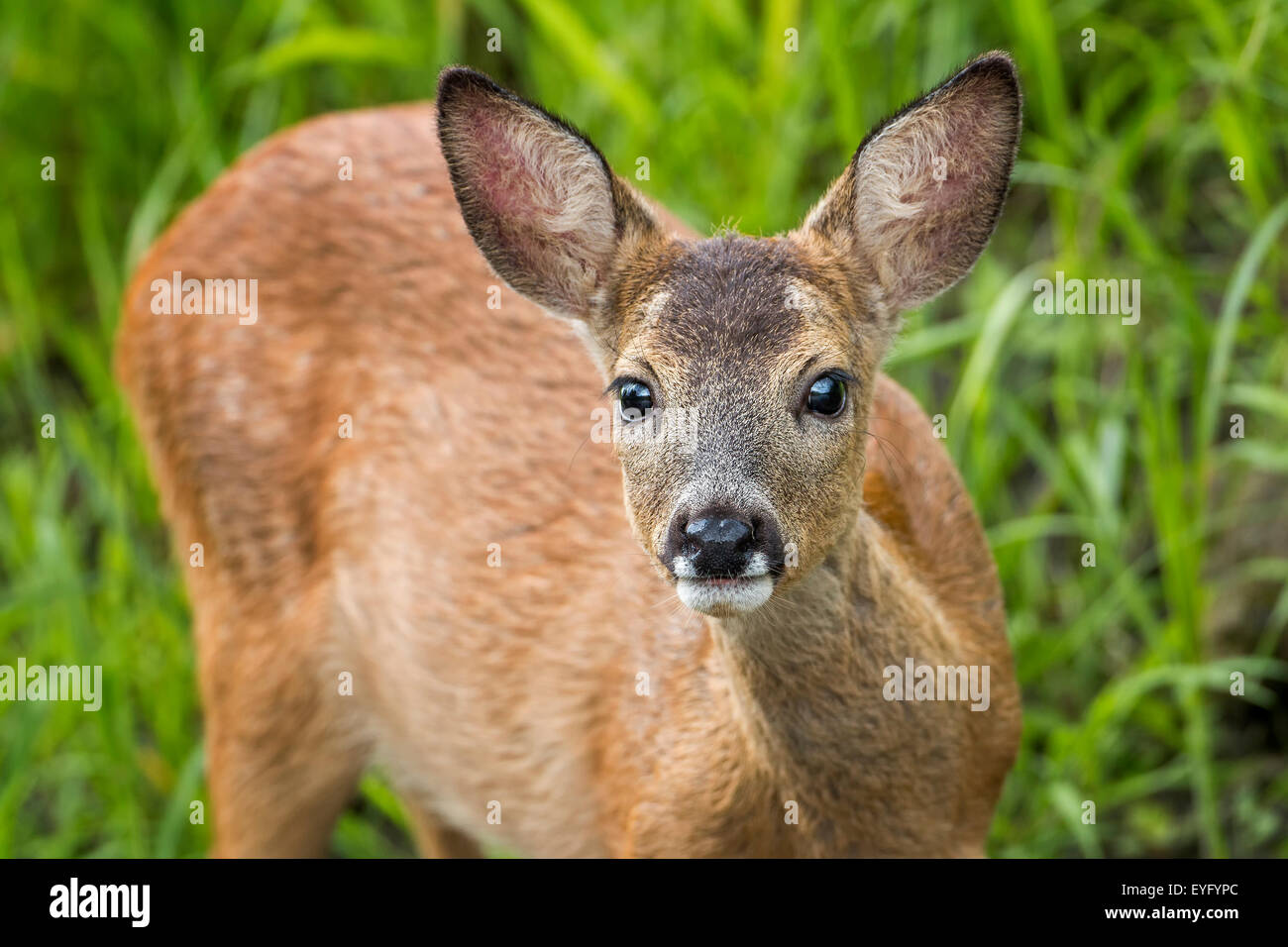 Reh (Capreolus capreolus) captive buck, fawn, portrait, Middle Elbe Biosphere Reserve, Saxony-Anhalt, Germany Stock Photo