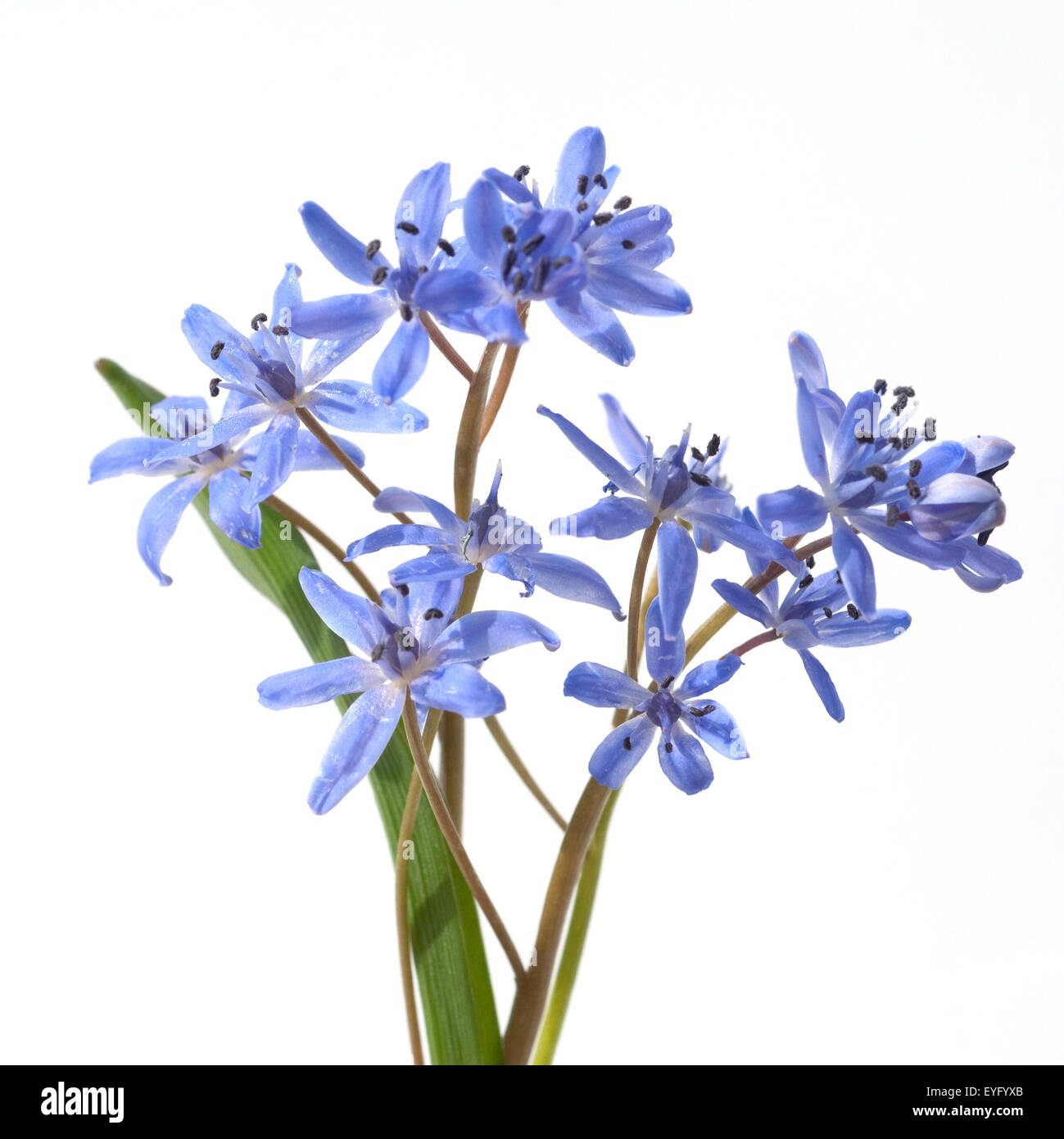 Blaustern; Scilla Sibirica; - Stock Image