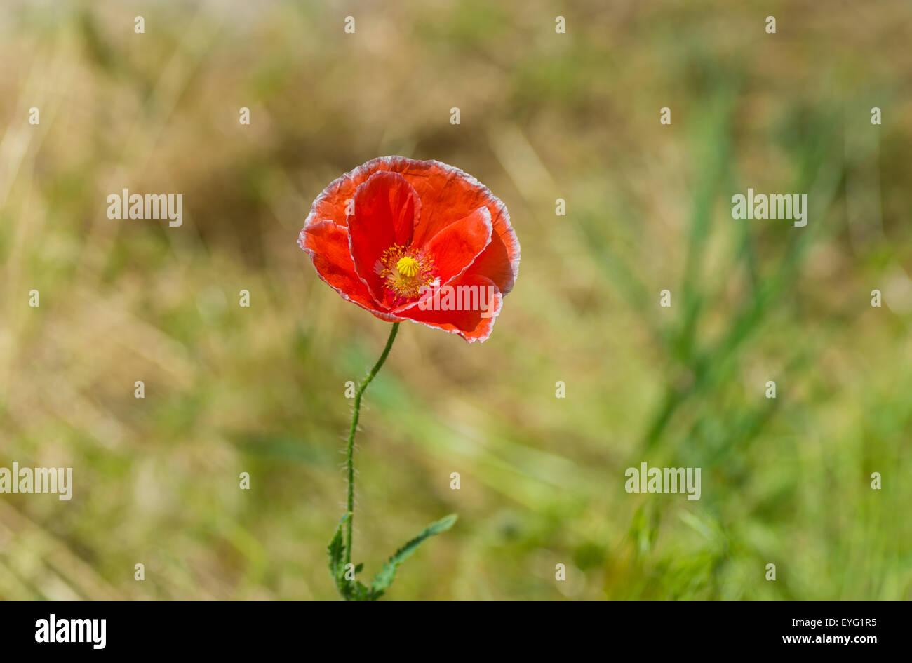 Red Poppy Shape Heart Stock Photos Red Poppy Shape Heart Stock