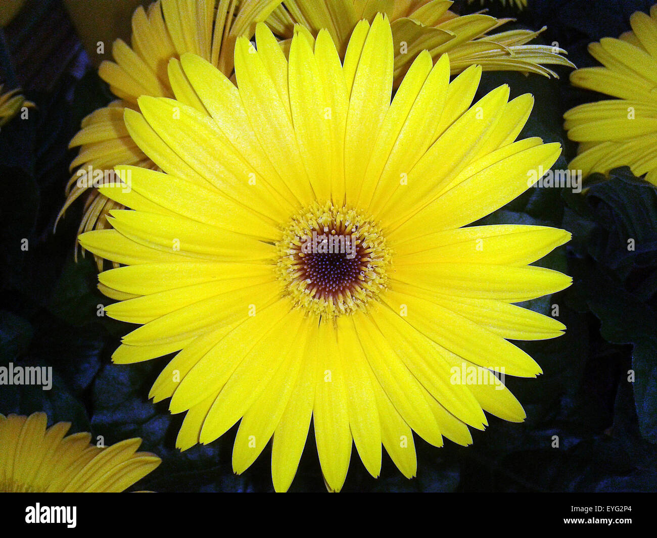 Gerbera, Afrika, Madagaskar, Sommerblume, Stock Photo