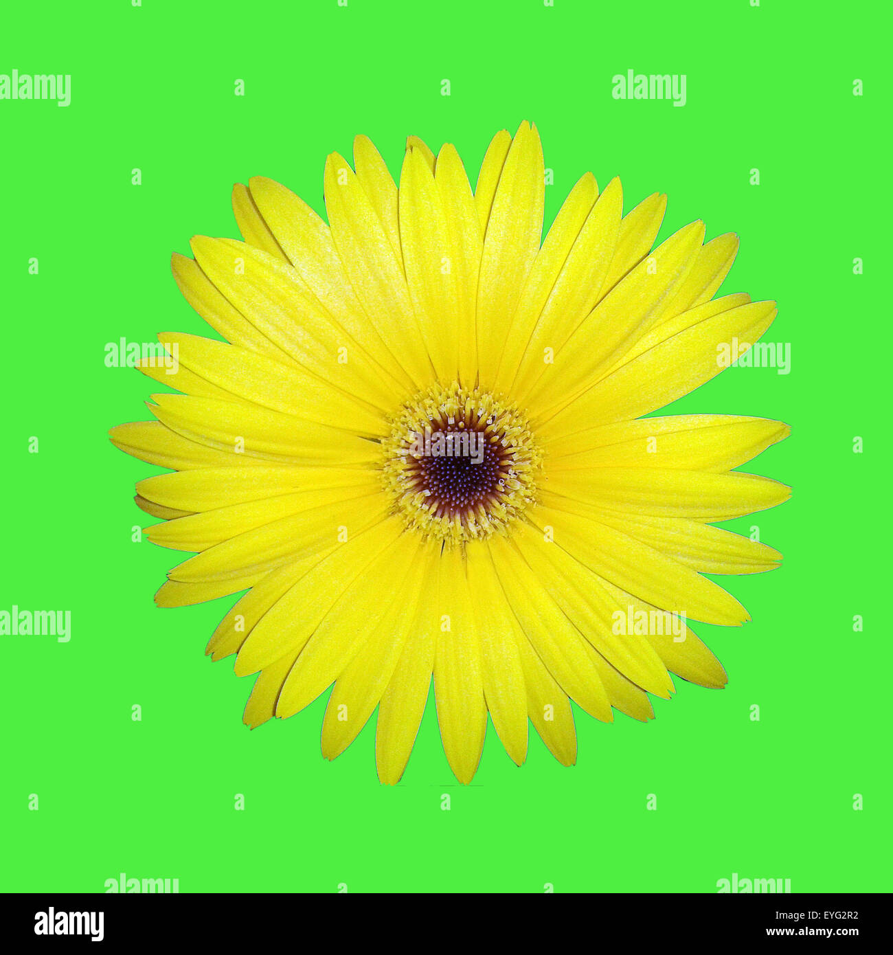 Gerbera, Afrika, Madagaskar, Sommerblume, Stock Photo
