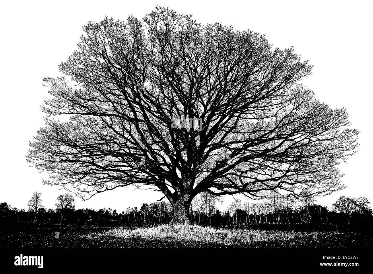 Big old oak tree, English oak, with winter leafless branches in silhouette as pen and ink, black and white, artistic Stock Photo