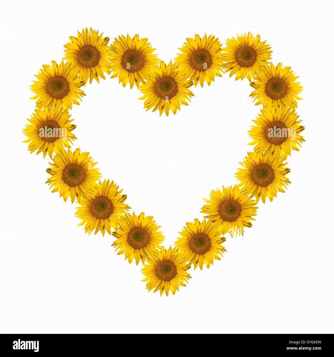 Blumenherz, Sonnenblume, Helianthus, annuus, - Stock Image