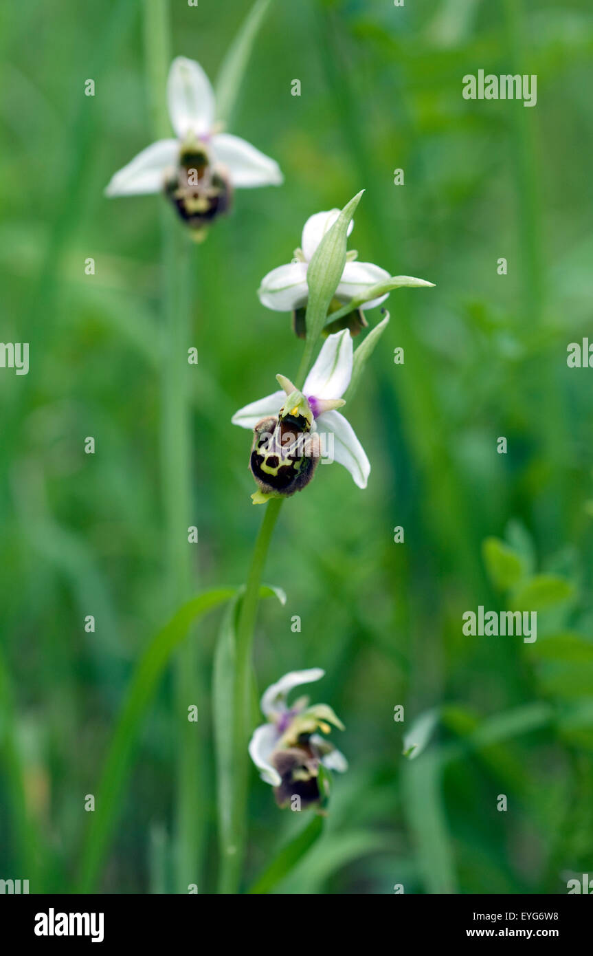 Hummel-Ragwurz, Ophrys, holoserica, Ragwurz, Orchidee - Stock Image