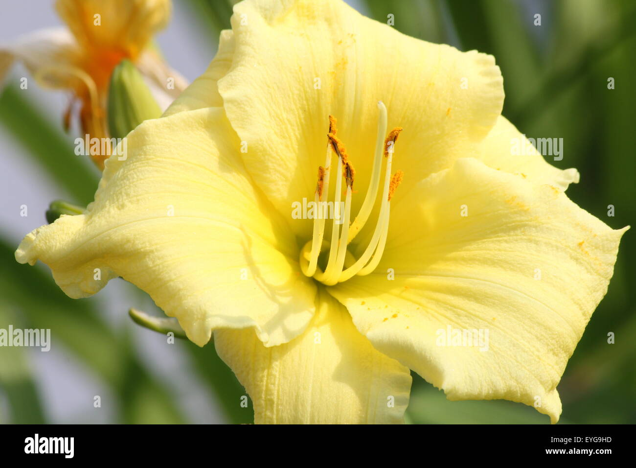 Day Lily Stella Stock Photos Day Lily Stella Stock Images Alamy