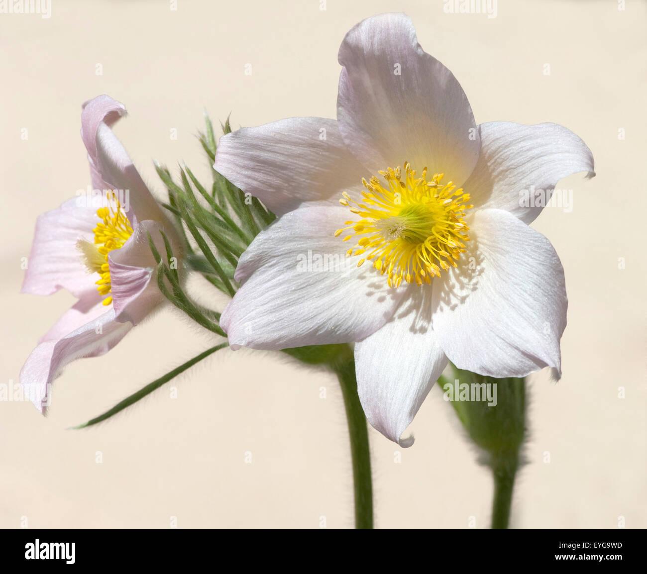 Kuechenschelle; Pulsatilla alba - Stock Image