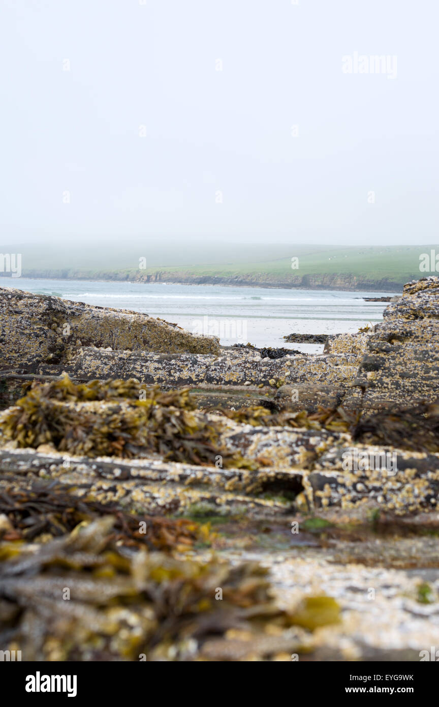 Barnacle and seaweed covered rocks  at low tide at Backaskaill Bay, Sanday, Orkney Islands. Hills in the mist behind. - Stock Image