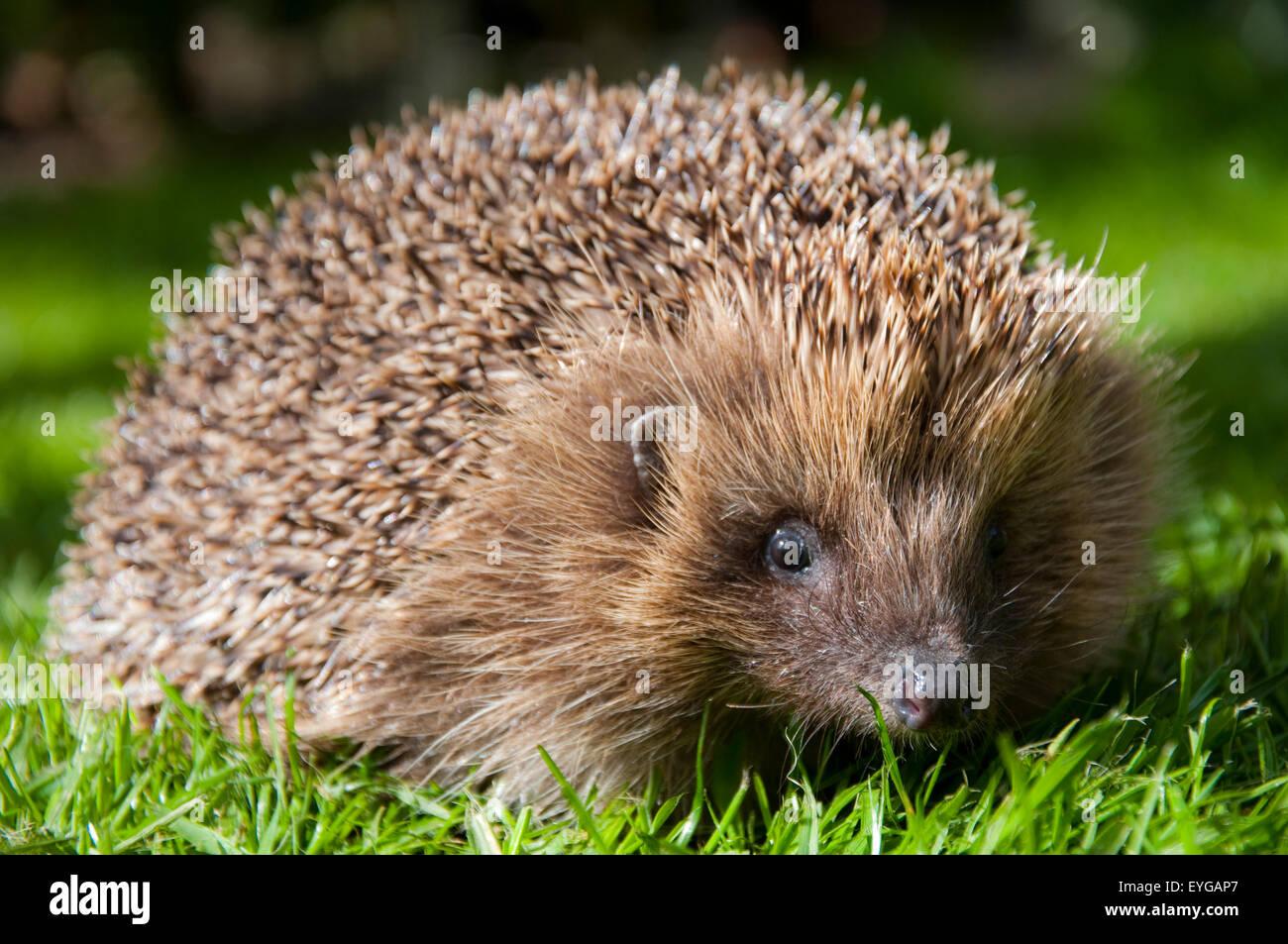 A hedgehog. - Stock Image
