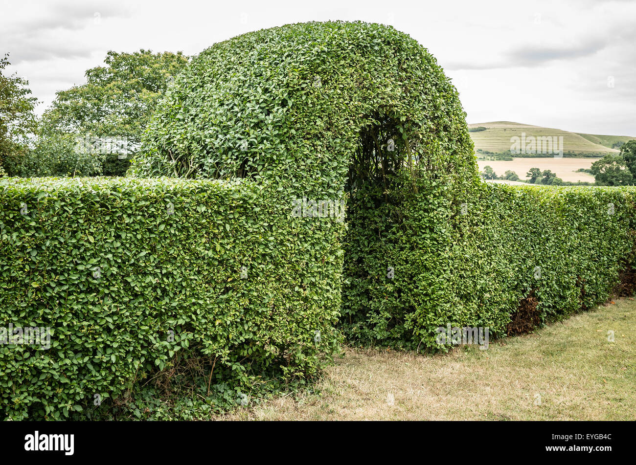 Newly trimmed privet hedge in summer - Stock Image