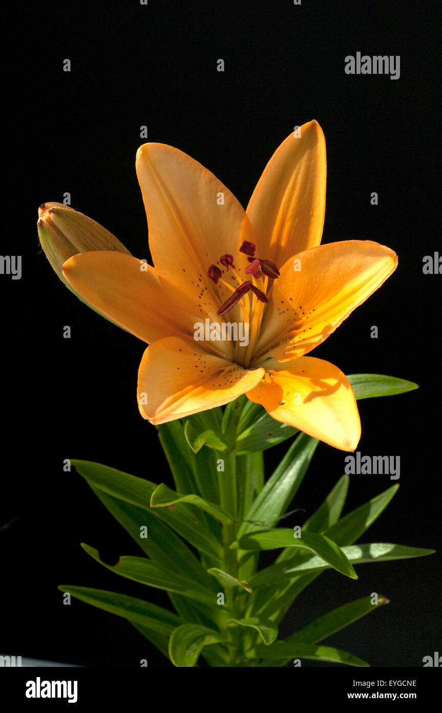 lilie; hybride; lilien; hybriden; Sommerblume; - Stock Image